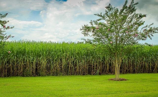 Cukornád ültetvény